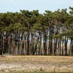 Areias do Seixo trees